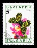Polyxena del sud di Zerynthia del festone, serie delle farfalle, circa Fotografia Stock