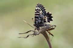 Polyxena di Zerynthia della farfalla fotografia stock