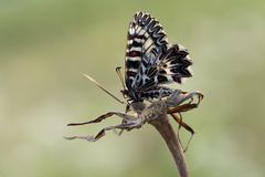 Polyxena Zerynthia πεταλούδων στοκ φωτογραφία