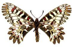 polyxena zerynthia Obraz Royalty Free