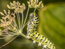 Polyxenes de Papilio, lagarta preta oriental do swallowtail fotografia de stock royalty free