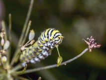 Polyxenes de Papilio, lagarta preta oriental do swallowtail foto de stock