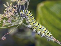 Polyxenes de Papilio, lagarta preta oriental do swallowtail imagens de stock