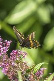 Polyxenes de Papilio, machaon noir oriental Images libres de droits
