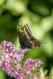 Polyxenes de Papilio, swallowtail preto oriental imagens de stock royalty free
