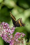 Polyxenes de Papilio, swallowtail preto oriental foto de stock
