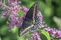 Polyxenes de Papilio, swallowtail preto oriental fotos de stock