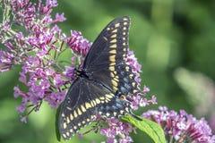 Polyxenes de Papilio, swallowtail preto oriental fotografia de stock