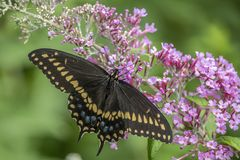 Polyxenes de Papilio, swallowtail preto oriental Imagem de Stock Royalty Free