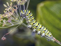 Polyxenes Papilio, восточная черная гусеница swallowtail Стоковые Изображения