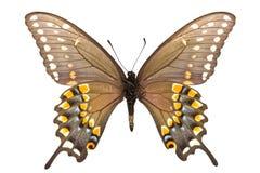 polyxenes papilio Стоковое Изображение RF