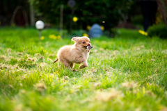 Pom-Chi dog puppy running through garden & x28;Pomeranian chihuahua& x29;. England, summer, shallow depth of field, fun, energy Royalty Free Stock Photography