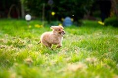 Pom-Chihundewelpe, der durch Garten u. x28 läuft; Pomeranian-chihuahua& x29; lizenzfreie stockfotografie
