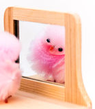 Pom peep reflection Royalty Free Stock Photo