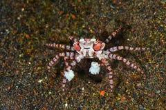 Pom pom crab. In Tulamben Indonesia stock image