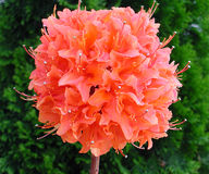 Pom Pom Flower Royalty Free Stock Images