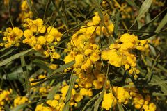 Pom Poms giallo di Thorn Tree dolce fotografia stock