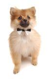 Pom Tuxedo. A cute Pomeranina puppy with a bowtie Royalty Free Stock Photo
