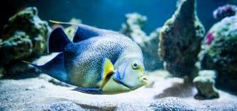 Pomacantbus asfur, Rybi dopłynięcie w oceanie obraz stock