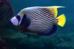 Pomacanthus imperator或皇家天使异乎寻常的美丽的珊瑚鱼在水族馆 免版税库存图片