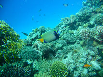 Pomacanthus imperator. Fish in red sea Stock Image