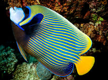 Pomacanthus imperator - Angel Fish Imperator. Angel Fish Imperator of the Red Sea. One of the most beautiful tropical fish Stock Photo