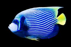 Pomacanthus imperator - emperor angelfish Royalty Free Stock Photos