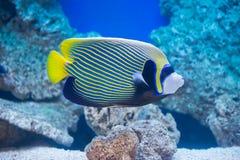 Pomacanthus imperator - emperor angelfish. Saltwater fish Stock Image