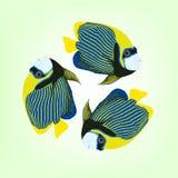 Pomacanthus imperator. illustration of three swimming fishes. Pomacanthus imperator. Vector illustration of three swimming Emperor angelfishes Stock Photos