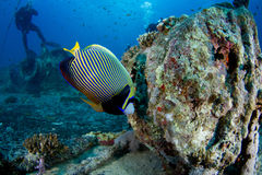 Pomacanthus imperator. Red sea Stock Images