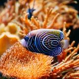 Pomacanthus navarchus blue angel sea fish in. Aquarium royalty free stock photography