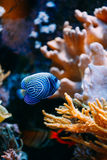 Pomacanthus navarchus blue angel sea fish in Stock Photo