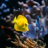 Pomacanthus navarchus blue angel sea fish in aquarium. Zebrasoma yellow tang sea fish in aquarium royalty free stock photography