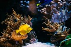 Pomacanthus navarchus blue angel sea fish in aquarium. Zebrasoma yellow tang sea fish in aquarium stock photography