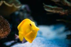 Pomacanthus navarchus blue angel sea fish in. Zebrasoma yellow tang sea fish in aquarium stock images