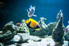 Pomacanthus navarchus, majestic angelfish,. Fish swimming in the ocean, against a background of corals stock photography