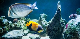 Pomacanthus navarchus, majestic angelfish, Fish swimming in the. Ocean, against a background of corals royalty free stock photos