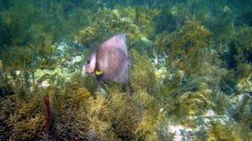 Pomacanthus paru Stock Photos