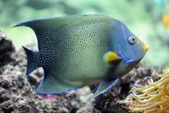 Pomacanthus semicirculatus. Semicircle angelfish (Pomacanthus Semicirculatus) in an aquarium Stock Images