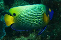 Pomacanthus xanthometopon - Blue face Angel fish Royalty Free Stock Photos