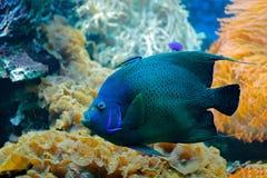 Pomacanthussemicirculatus, Koranzeeëngel, de habitat van het aardwater Blauw water met mooie gele blauwe vissen Dier in zeewater stock foto