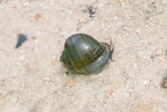 Pomacea canaliculata. Is science name Stock Photo