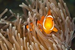 Pomacentridae, ψάρια κλόουν ή Anemonefish Στοκ Εικόνες