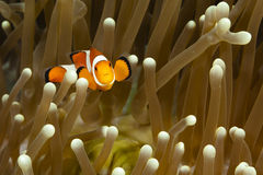 Pomacentridae, ψάρια κλόουν ή Anemonefish Στοκ εικόνα με δικαίωμα ελεύθερης χρήσης