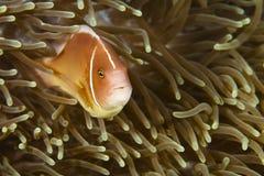 Pomacentridae, ψάρια κλόουν ή Anemonefish Στοκ φωτογραφίες με δικαίωμα ελεύθερης χρήσης