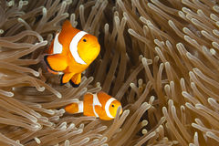 Pomacentridae, Clown Fish or Anemonefish. In Pacific Ocean at Panglao - Philippino royalty free stock photo