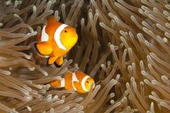 Pomacentridae, clownfisk eller Anemonefish Royaltyfri Foto