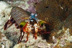 Pomacentridae, poissons de clown ou Anemonefish Image libre de droits