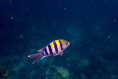 Pomacentridae Royalty Free Stock Photography