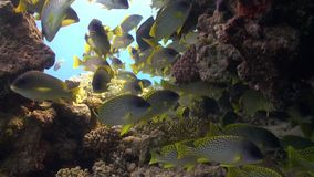 Pomadasys commersonnii school of fish on coral reef relax underwater Red sea. Sweetlips Grunzer of yellow color. Amazing video about marine nature on stock video footage